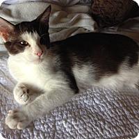 Adopt A Pet :: Oliver - Chandler, AZ