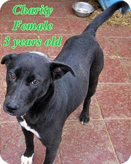 Border Collie/Labrador Retriever Mix Dog for adoption in Boaz, Alabama - Charity