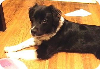 Border Collie Mix Dog for adoption in Memphis, Tennessee - Piper
