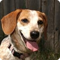 Adopt A Pet :: Dixie - Norman, OK