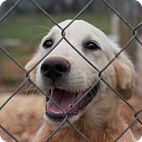 Adopt A Pet :: Otis - $250 - Seneca, SC