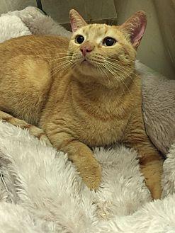 Domestic Shorthair Cat for adoption in Bonita Springs, Florida - Patsy