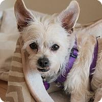 Adopt A Pet :: Ginger - Studio City, CA