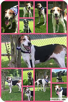 Coonhound Mix Dog for adoption in Mount Holly, New Jersey - Ariel