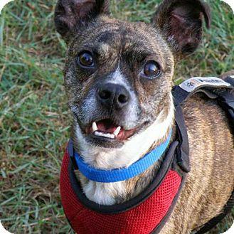 Boston Terrier/Jack Russell Terrier Mix Dog for adoption in Garfield Heights, Ohio - Adam-UPDATE 7/22