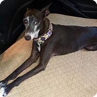 Italian Greyhound Dog for adoption in San Diego, California - Bernie