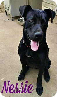 Labrador Retriever Mix Dog for adoption in Roanoke, Virginia - Nessie