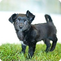Adopt A Pet :: Rudder (Dory's puppy) 'doxie/mix' - Los Angeles, CA