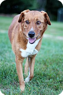Labrador Retriever Mix Dog for adoption in Waldorf, Maryland - Julie