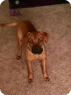 Boxer Mix Dog for adoption in Westminster, Maryland - Shelly