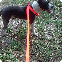 Adopt A Pet :: MOLLY - Spring Hill, FL