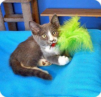 Russian Blue Kitten for adoption in Glendale, Arizona - Titus