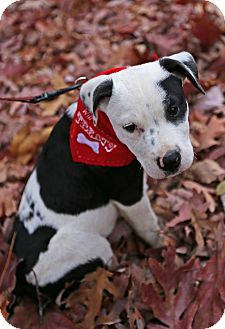 Terrier (Unknown Type, Medium)/Pointer Mix Puppy for adoption in Washington, D.C. - Patchy