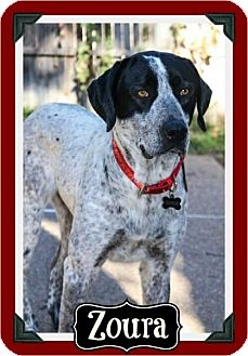 English Pointer/Labrador Retriever Mix Dog for adoption in Arlington, Texas - Zoura