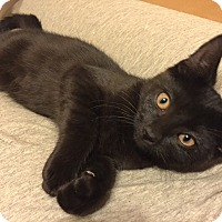 Adopt A Pet :: Raven - Barrington, NJ