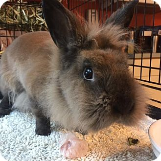 Lionhead Mix for adoption in Westminster, California - Randi