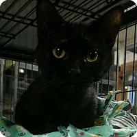 Domestic Shorthair Cat for adoption in Saginaw, Michigan - Rozzi