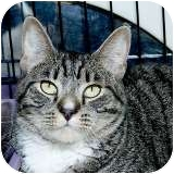 Domestic Shorthair Cat for adoption in Sacramento, California - Mikey