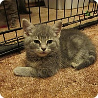 Adopt A Pet :: Gray Kitten - Girl - Acme, PA