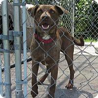 Adopt A Pet :: Dusty - Medora, IN