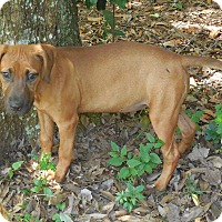 Adopt A Pet :: Ginger - Ormond Beach, FL