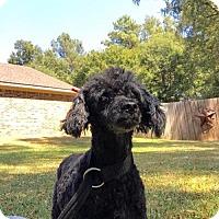 Adopt A Pet :: Argyn - Longview, TX