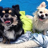 Adopt A Pet :: Stephen and Damon Chihuahuas - Pompton lakes, NJ