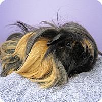 Adopt A Pet :: THOR - Aurora, CO