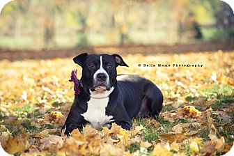American Staffordshire Terrier Mix Dog for adoption in Casey, Illinois - AMARIE