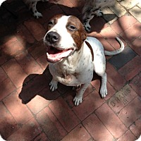 Pointer Mix Dog for adoption in Von Ormy, Texas - Zoey(PC)