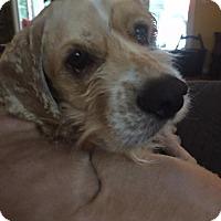 Cocker Spaniel Mix Dog for adoption in Alpharetta, Georgia - Grimes
