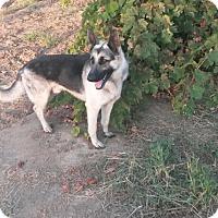 German Shepherd Dog Mix Dog for adoption in Lodi, California - Kennedy