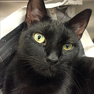 Domestic Shorthair Cat for adoption in Beacon, New York - Birdie