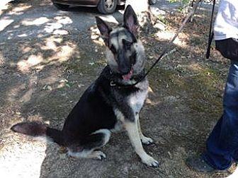 German Shepherd Dog Dog for adoption in Hedgesville, West Virginia - Dallas