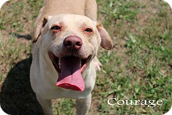 Labrador Retriever/Pit Bull Terrier Mix Dog for adoption in Texarkana, Arkansas - Courage
