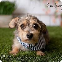 Chihuahua/Terrier (Unknown Type, Small) Mix Dog for adoption in Mesa, Arizona - Smokey