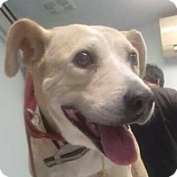 Labrador Retriever Mix Dog for adoption in BONITA, California - Bonita