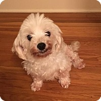 Maltese Dog for adoption in St. Louis Park, Minnesota - Florence