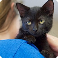Domestic Shorthair Kitten for adoption in Huntsville, Alabama - Onyx