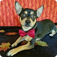 Chihuahua/Miniature Pinscher Mix Dog for adoption in Troutville, Virginia - Jacob