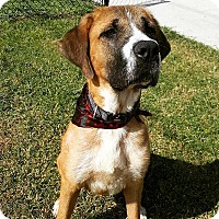 St. Bernard Mix Dog for adoption in Lehigh Acres, Florida - Sampson