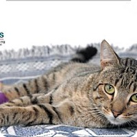 Domestic Shorthair Cat for adoption in Belle Chasse, Louisiana - Tre