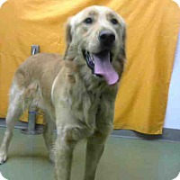 Golden Retriever Mix Dog for adoption in San Bernardino, California - URGENT 12/3 @ DEVORE