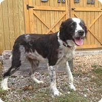 Border Collie Dog for adoption in Centralia, Illinois - Mandi