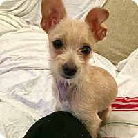 Adopt A Pet :: PUPPIES! FOSTER NEEDED! - Redondo Beach, CA