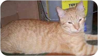 Domestic Shorthair Cat for adoption in St. Louis, Missouri - Sunburst