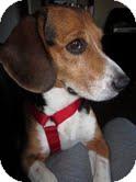 Beagle Mix Dog for adoption in Phoenix, Arizona - Gatsby