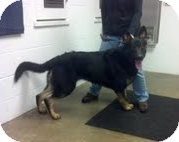 German Shepherd Dog Dog for adoption in Hamilton, Montana - Zeus