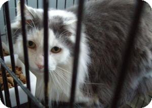 Domestic Longhair Cat for adoption in Acushnet, Massachusetts - Duncan