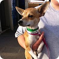 Adopt A Pet :: Rabbit - Gilbert, AZ